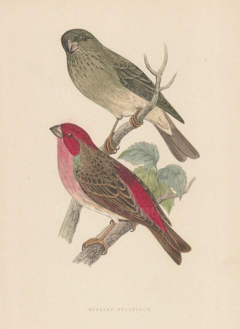 "Morris: Scarlet Bullfinch. 1895. An original hand coloured antique wood engraving. 5"" x 8"". [NATHISp7388]"