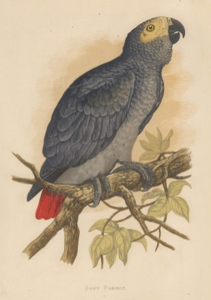 Congo Grey Parrot indigenous to equatorial Africa.
