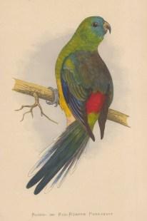 Red rumped Parakeet (Grass Parrot) indigenous to Australia.