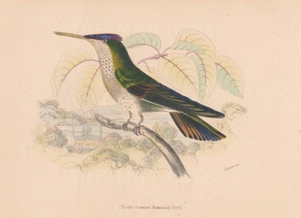 Violet crowned Hummingbird.