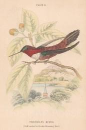 Trochilus Rupus.