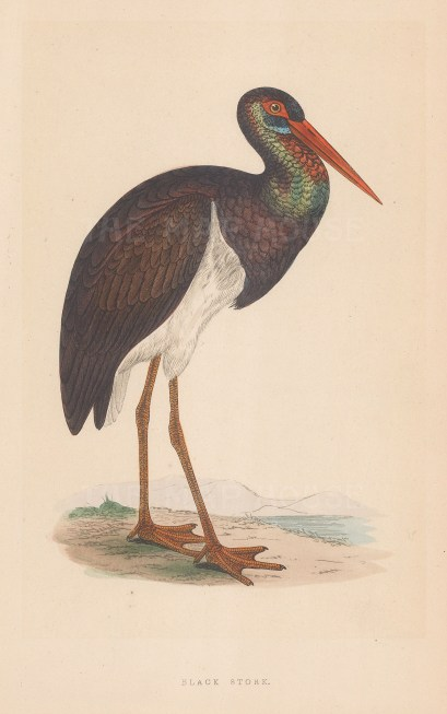 """Morris: Black Stork. 1895. An original colour antique lithograph. 5"""" x 8"""". [NATHISp7434]"""