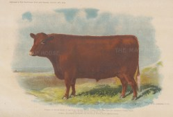 Red Poll Steer 2nd Prize Smithfield 1902.