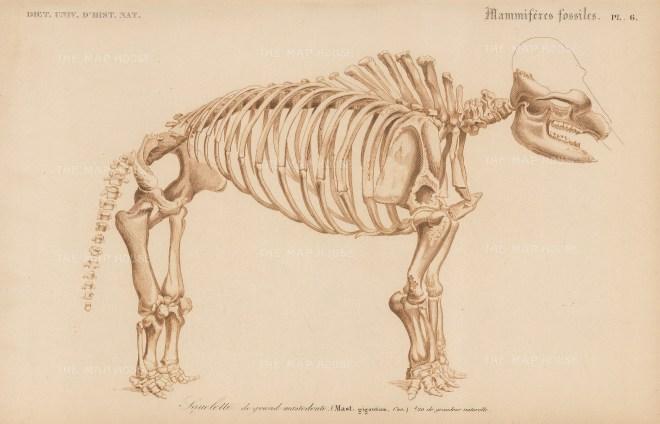 Mastadon Giganticus: Lateral skeletal view of the prehistoric elephant.