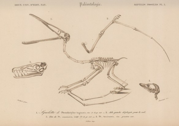 Pterodactylus. Lateral skeletal view with details of skull.