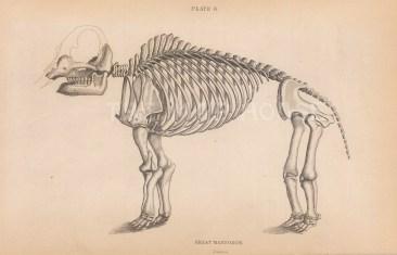 Great Mastodon. Full skeleton.