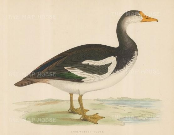 "Morris: Spur Winged Goose. 1869. An original hand coloured antique lithograph. 11"" x 10"". [NATHISp7553]"