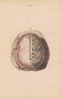 Hemispheres of the Cerebrum (A), Tentorium Cerebelli (D), Dura Mater (Y) and Sinus (X) Plate LVII.