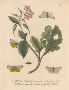 Caterpillars: White mock butterfly on a radish with chrysalis and moths. Dedicated to William Byrd of Westover in Virginia.