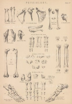 Diagrams of the arm and leg bones.