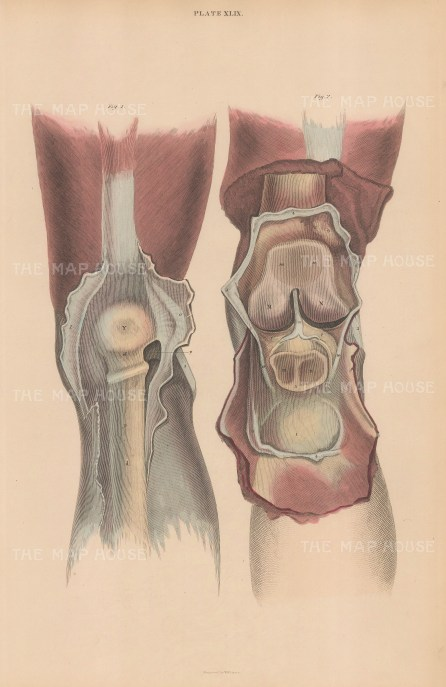Two views of the patellofemoral joint. Plate XLIX.