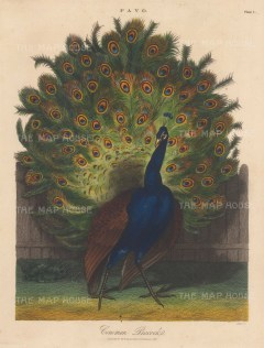 Common peacock. Engraved by John Pass.