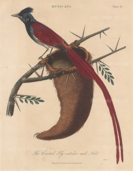 Fly catcher (Musicapa). Crested Fly catcher with nest. Engraved by John Pass.