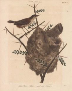 Warbler (Motacilla). Pinc Pinc grass warbler with nest. Engraved by John Pass.