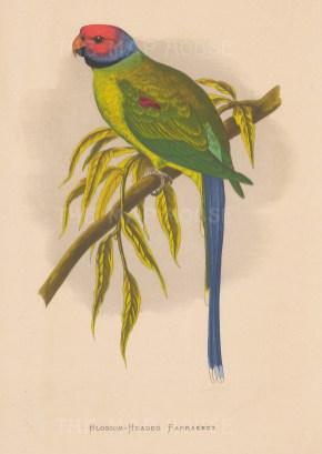 "Greene: Blossom headed parakeet. 1887. An original antique chromolithograph. 6"" x 9"". [NATHISp7892]"
