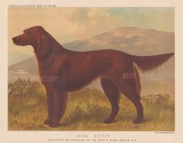 """Cassell: Irish Setter. 1890. An original antique chromolithograph. 9"""" x 7"""". [NATHISp7962]"""