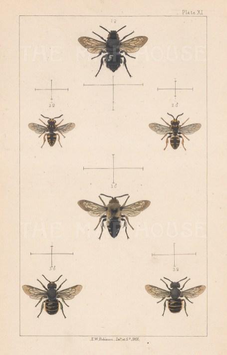 Cuckoo bee (1. Melecta puncata), Varigated cuckoo bee (2. Epeolus variegatus) and Plain dark-bee (3. Stelis phaeoptera)