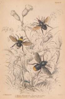 Harris Humblebee (Bombus Harrisellus), bee pests Apathus vestalis and Apathus rupestris.