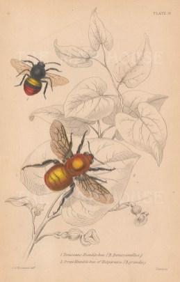 Donovan's Bumblebee (Bombus Donovellus) and the Valparaiso Bumblebee (Bombus Grandis).