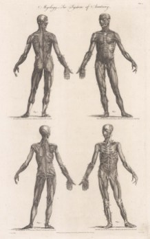 Four anterior and posterior figures showing the first and second muscle layers.