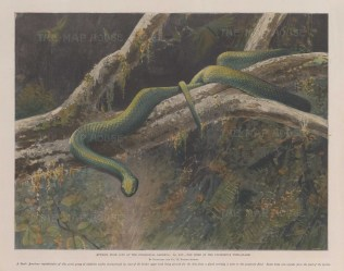 The Plumbeous Tree Snake.