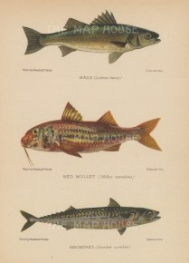Bass (Labrax lupu), Red Mullet (Mullus surmuletus) and Mackrel (Scomber scmber): After Reinhold Thiele.