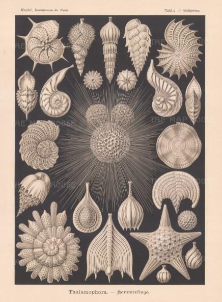 Foraminifera (Thalamophora). 20 specimens of the shells of mollusc like organisms. Key available.