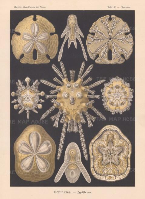 Echinidea Igelfterne. 1 & 2 Clypeaster rosaceus 3 & 4 Encope emarginata 5-9 Echinocyamus pusillus.