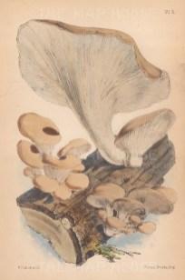 Agaricus ostreatus.