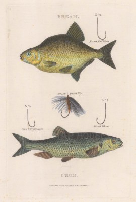 Bream and chub with appropriate hooks.