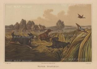 Water Spaniels driving ducks.