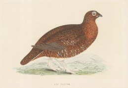 """Morris: Red Grouse. 1897. An original hand coloured antique wood engraving. 8"""" x 5"""". [FIELDp1527]"""