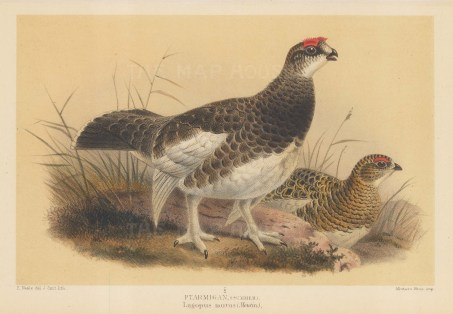 "Porter: Ptarmigan. 1897. An original colour antique lithograph. 8"" x 5"". [FIELDp1529]"