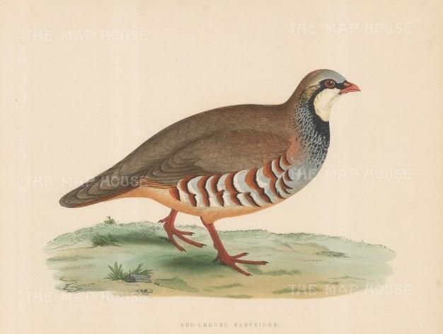Red legged Partridge.