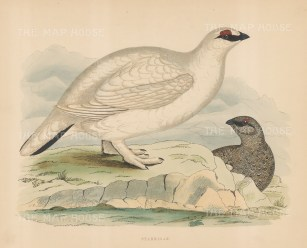 Pair in winter plumage.