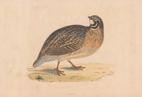 "Morris: Quail. 1855. An original hand coloured antique lithograph. 8"" x 5"". [FIELDp1584]"