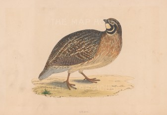 """Morris: Quail. 1855. An original hand coloured antique lithograph. 8"""" x 5"""". [FIELDp1584]"""