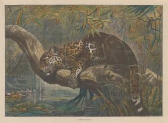 "Illustrated London News: Jaguar. c1870. A hand coloured original antique wood engraving. 13"" x 10"". [NATHISp6670]"