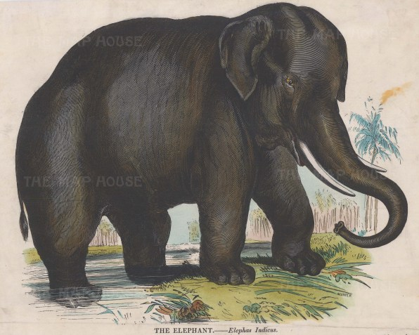 Indian Elephant, Elephas Indicus. Founded in 1698, the SPCK is the oldest Anglican mission and publishing house of the Church of England.