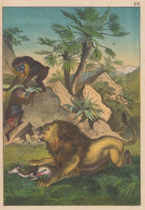 "Votteler: Lion and Baboons. c1890. An original antique chromolithograph. 7"" x 10"". [NATHISp7234]"