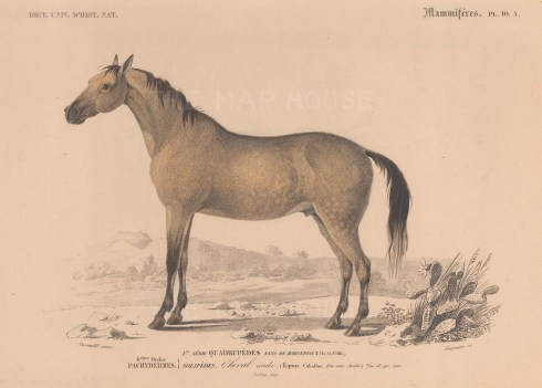 "d'Orbigny: Arabian Horse. 1849. An original antique hand coloured lithograph. 9"" x 6"". [NATHISp7346]"