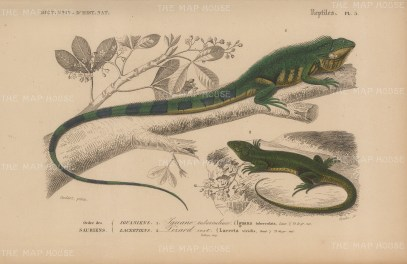 "d'Orbigny: Iguana and Lizard. 1849. An original antique hand coloured lithograph. 9"" x 6"". [NATHISp7469]"