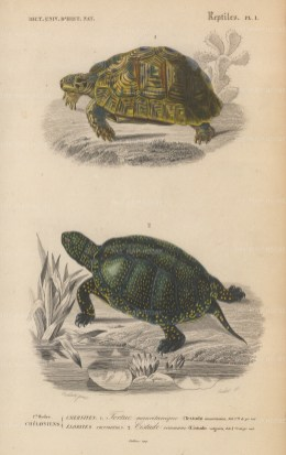 """d'Orbigny: Tortoise and Turtle. 1849. An original antique hand coloured lithograph. 6"""" x 9"""". [NATHISp7470]"""