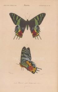 "d'Orbigny: Madagascan Sunset Moth. 1849. An original antique hand coloured lithograph. 6"" x 9"". [NATHISp7763]"