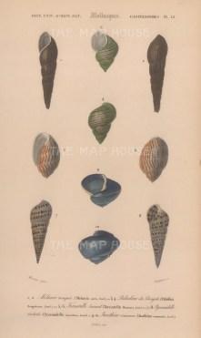 """d'Orbigny: Vivaparus. 1849. An original antique hand coloured lithograph. 6"""" x 9"""". [NATHISp7773]"""
