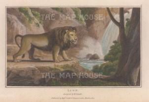 "Daniell: Lion. A hand coloured original antique aquatint. 8"" x 5"". [NATHISp7866]"