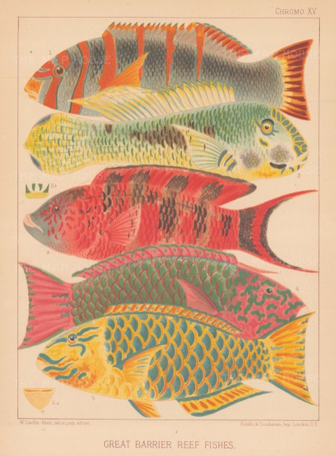 Great Barrier Reef Parrot Fish:1. Orange banded, 2 Hodgkinson, 3 Scarlet banded and male and female Surf parrot fishes.