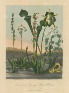 Curious American Bog Plants. Fly Oprys, Venus Fly Trap, Bee Orphys, Yellow side-saddle, Tutsan-leaved Dog's bone and Stinking pothos.