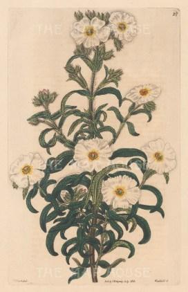 Cistus minspeliensis, Montpelier Rock-Rose.
