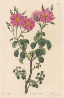 Cistus Cymosus, Cyme-flowered Rock Rose.